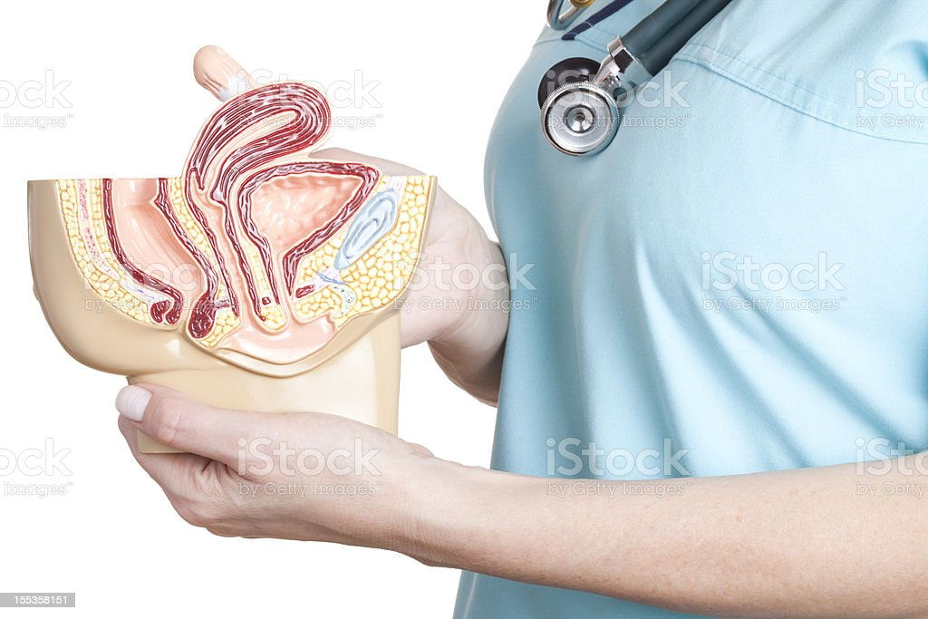 Female pelvis model stock photo
