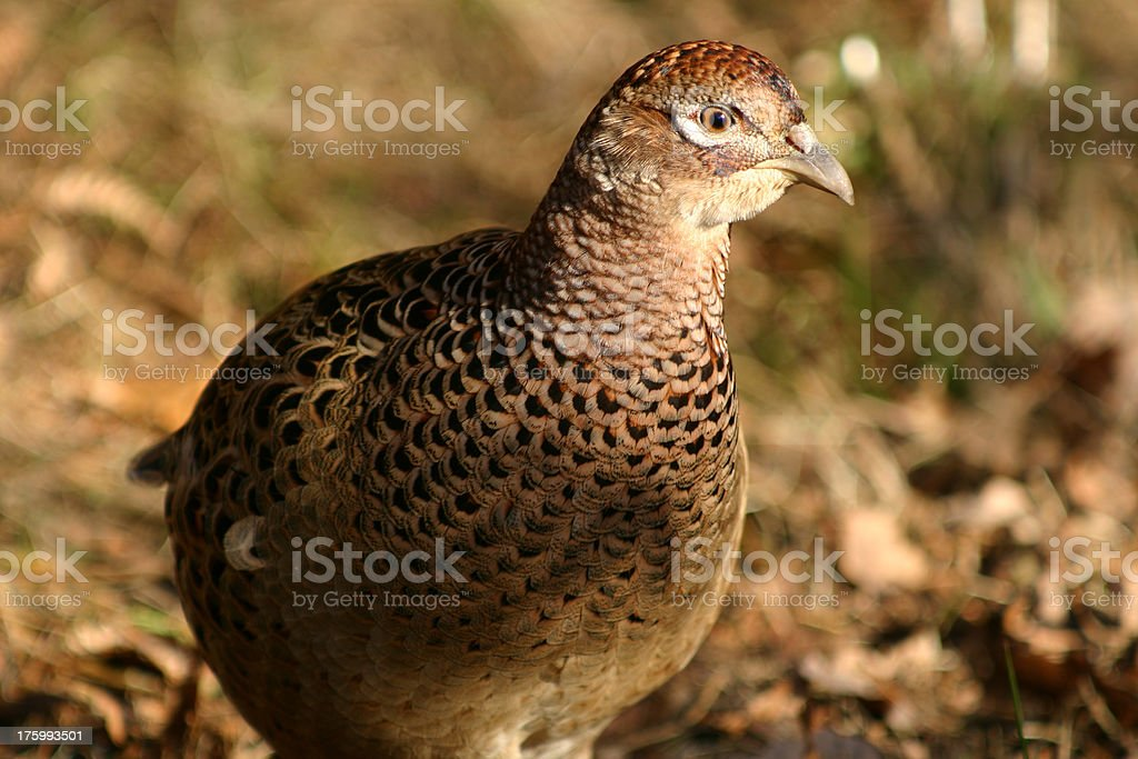 female pheasant bird in uk countryside royalty-free stock photo