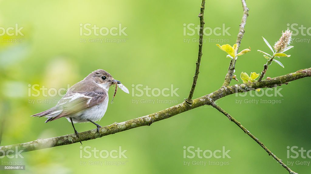 Female pied flycatcher perching on willow tree stock photo