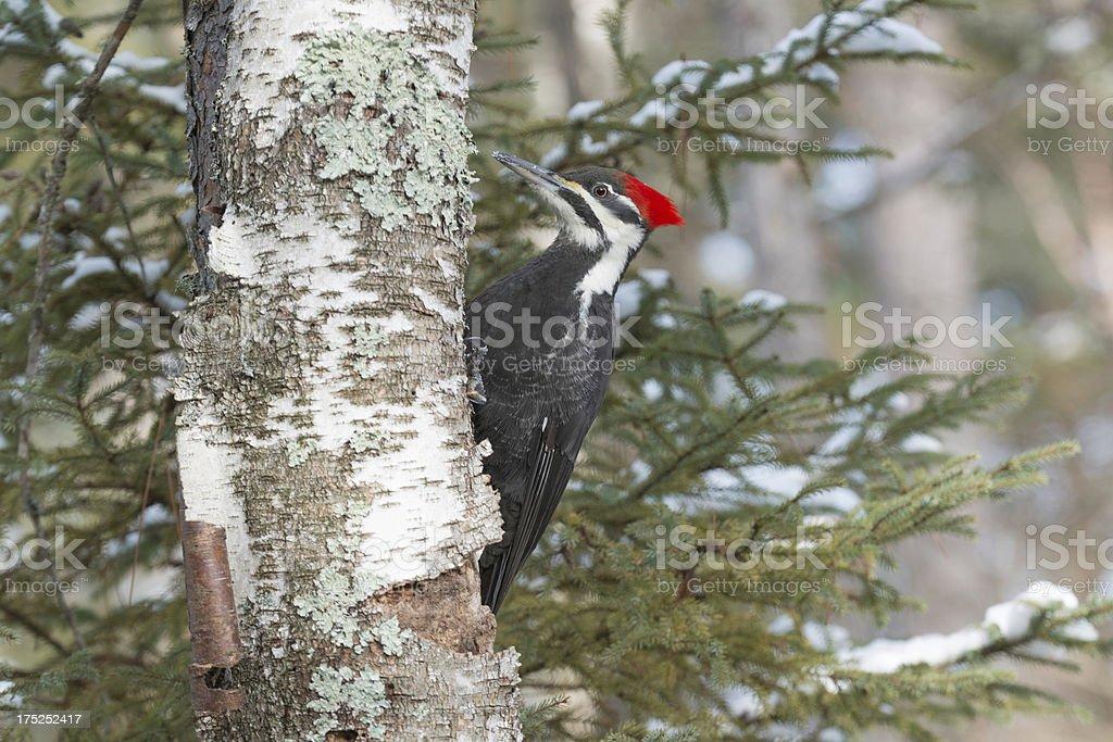 Female Pileated Woodpecker stock photo