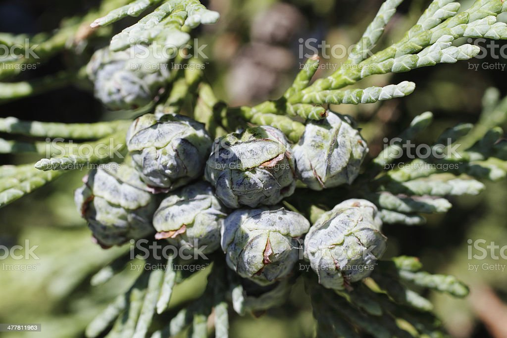 Female pine cone Lawson cypress tree Chamaecyparis lawsoniana royalty-free stock photo