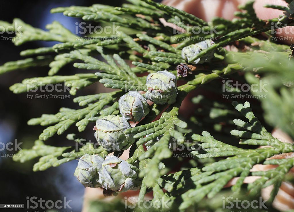 Female pine cones Lawson cypress tree Chamaecyparis lawsoniana stock photo