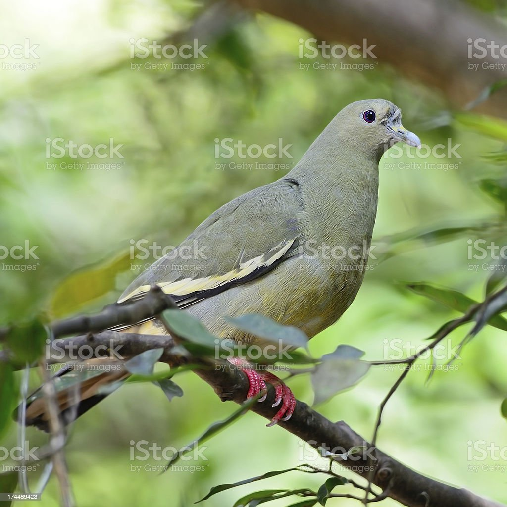 female Pink-necked Green-Pigeon royalty-free stock photo