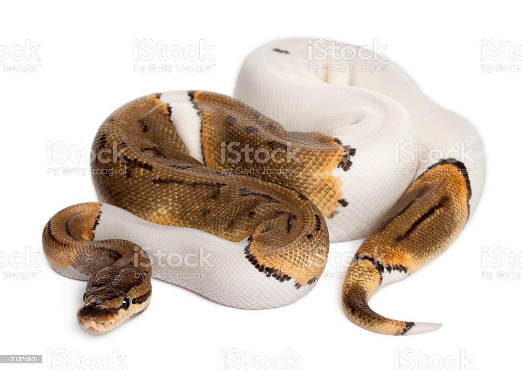 Female Pinstripe Pied Royal python, fourteen months old, white background. stock photo