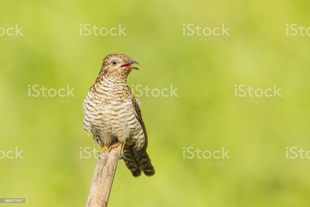 Female Plaintive Cuckoo stock photo