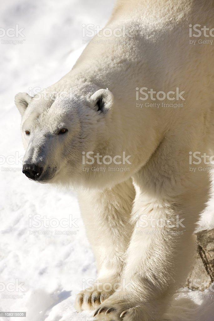 Female polar bear stretching in Winter sunshine. stock photo