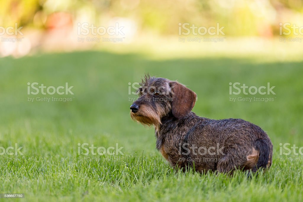 female portrait of brown dachshund stock photo