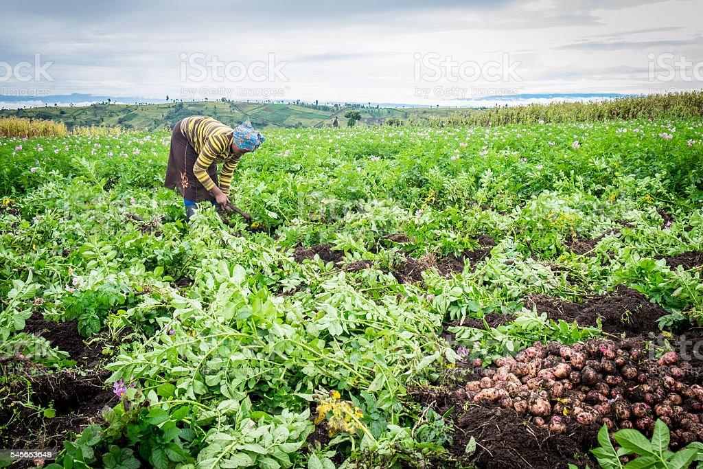 Female potato farmer stock photo