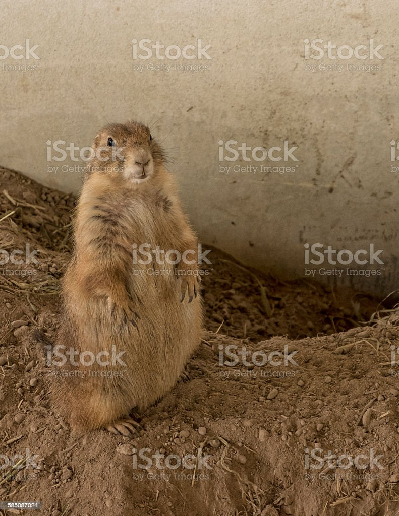 Female Prairie Dog standing on ridge soil stock photo