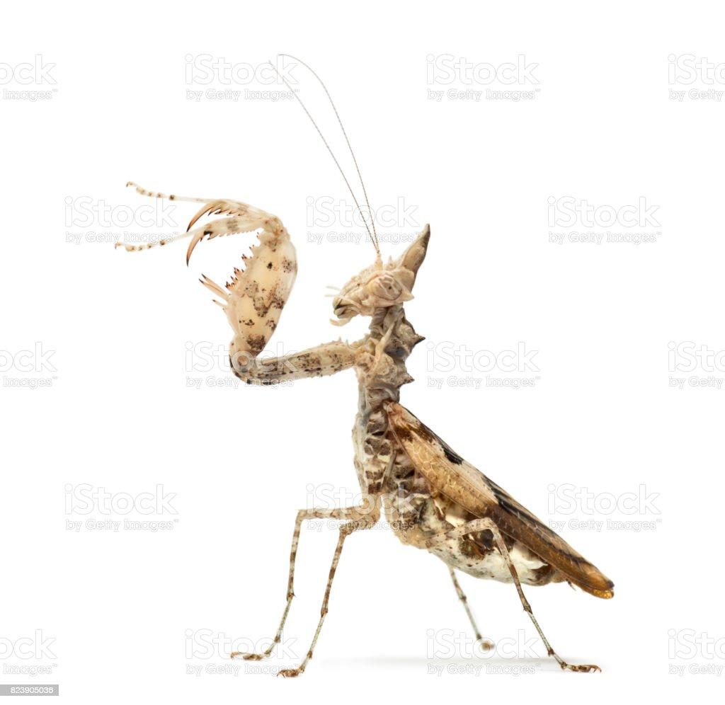 Female Praying Mantis Ceratomantis Saussurii Isolated On White stock ...