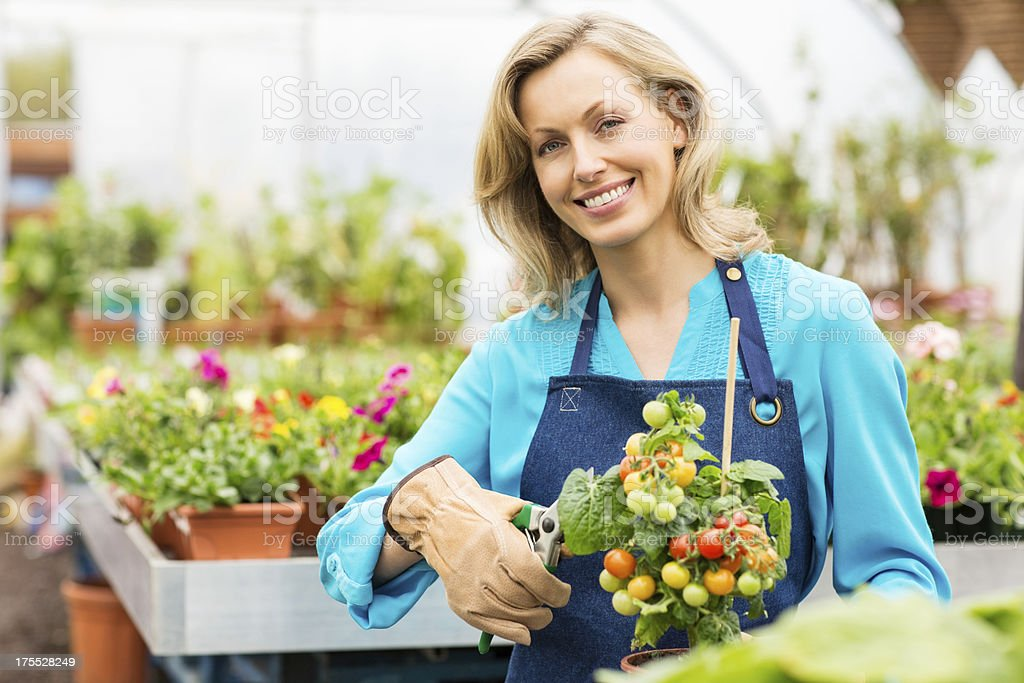 Female Pruning Potted Cherry Tomato Plant royalty-free stock photo