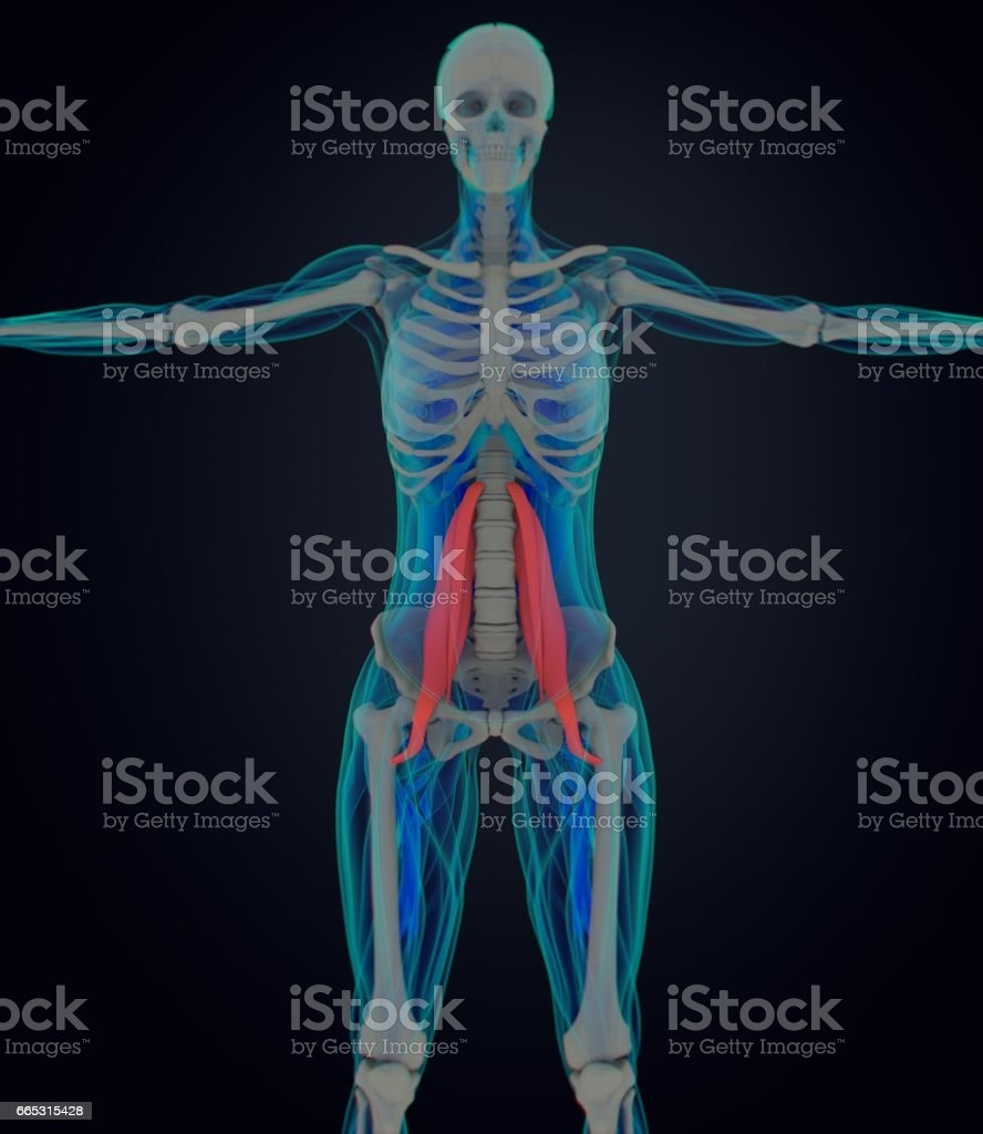 Female psoas muscle. Soul muscle. Human anatomy. 3d illustration. stock photo
