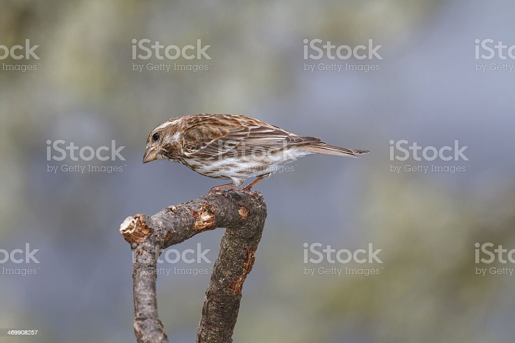 Female Purple Finch (Carpodacus purpureus) stock photo