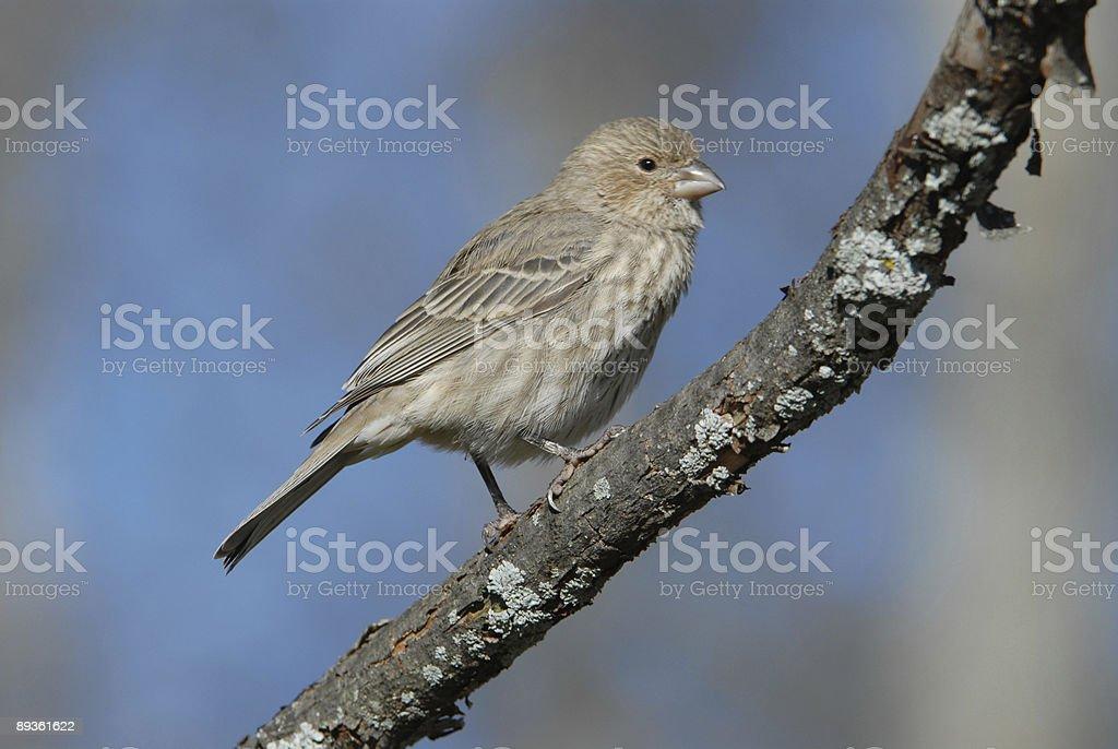 Female Purple Finch stock photo