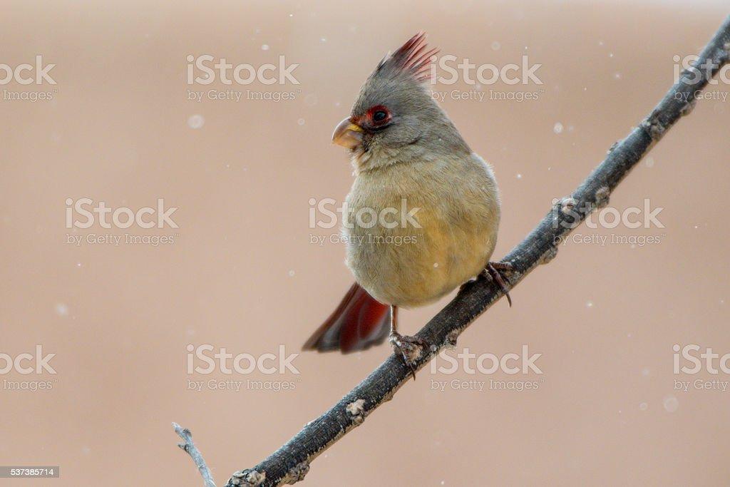Female Pyrrhuloxia (Cardinalis sinuatus) stock photo