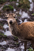 Female red deer in rural Dumfries and Galloway, Scotland