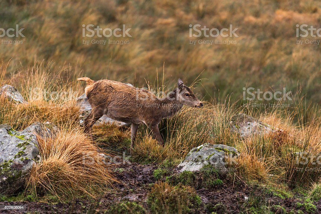 Female red deer in rural Dumfries and Galloway, Scotland stock photo