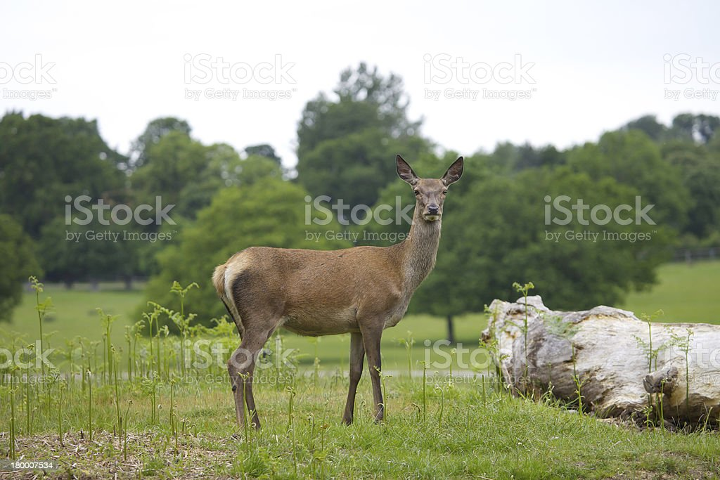 Female Red Deer royalty-free stock photo