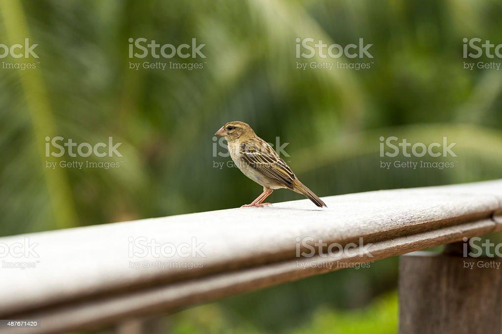 Female red fody, Foudia madagascariensis, Seychelles and Madagascar bird. stock photo