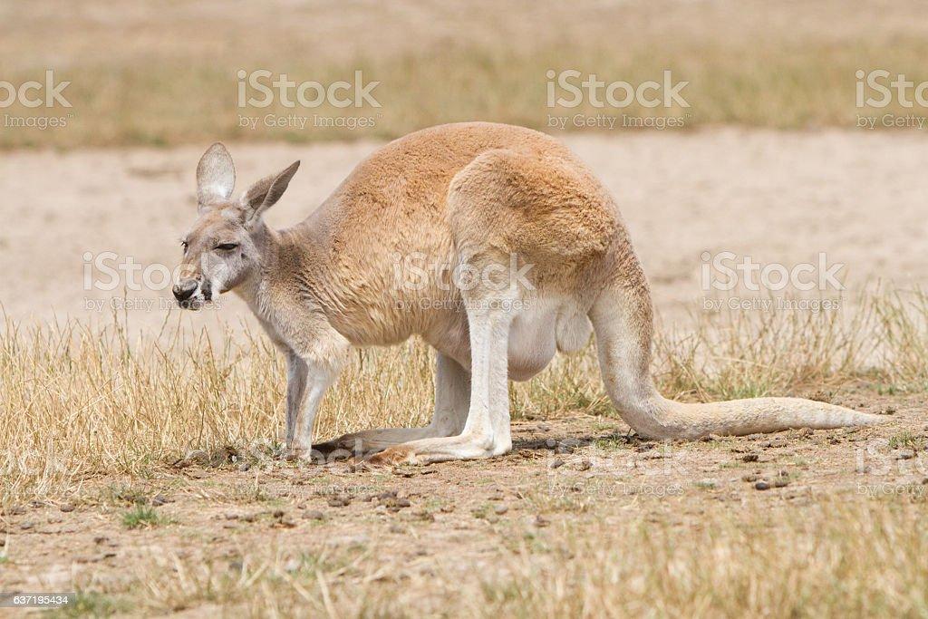 Female Red Kangaroo Close Up stock photo