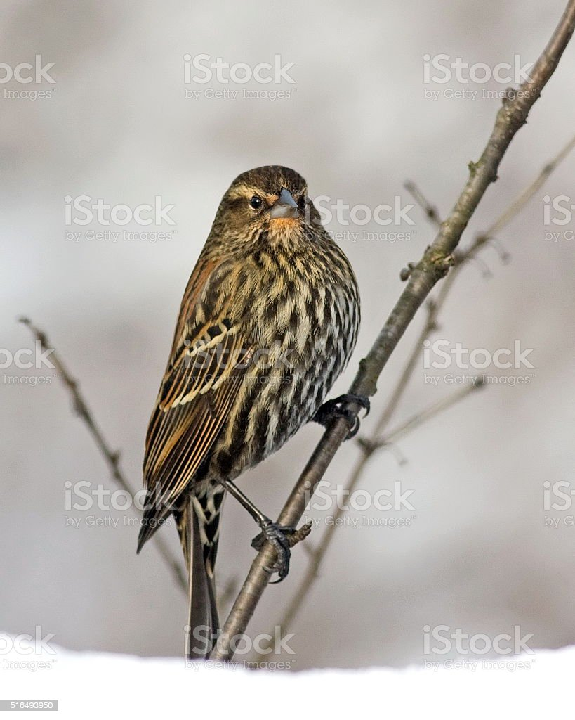 Female Red Winged Blackbird stock photo