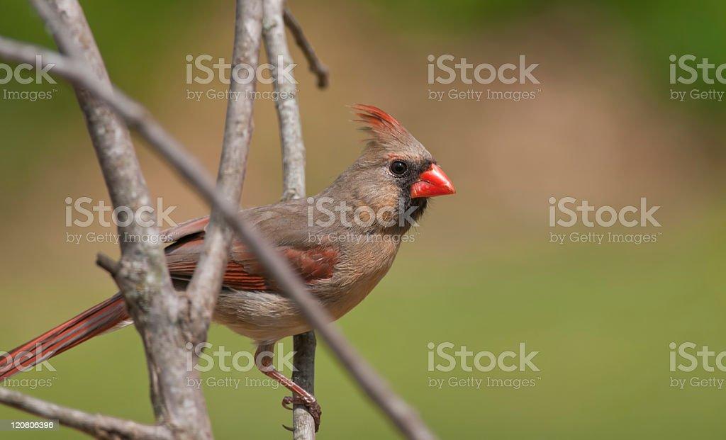 Female redbird stock photo