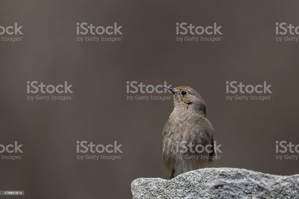 Female redstart on smooth background sitting on a stone stock photo