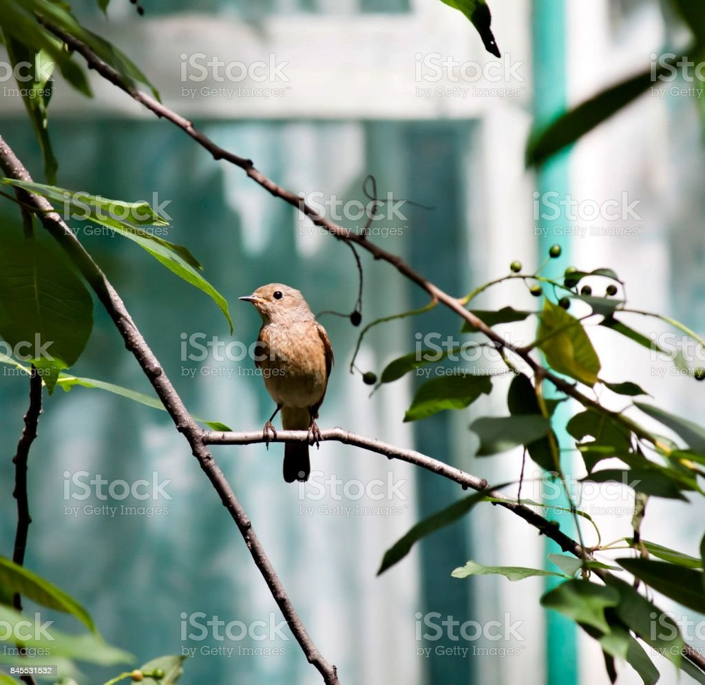 female Redstart sitting on a tree branch stock photo