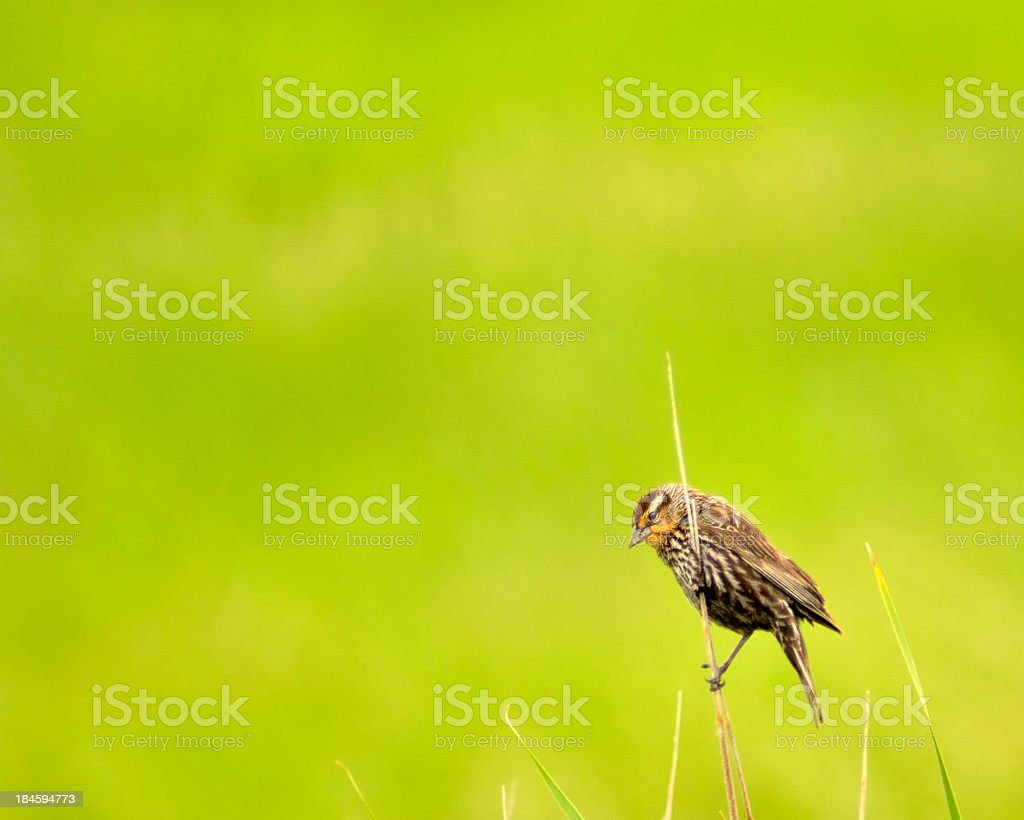 Female Red-winged Blackbird, Agelaius phoeniceus, On Reed royalty-free stock photo