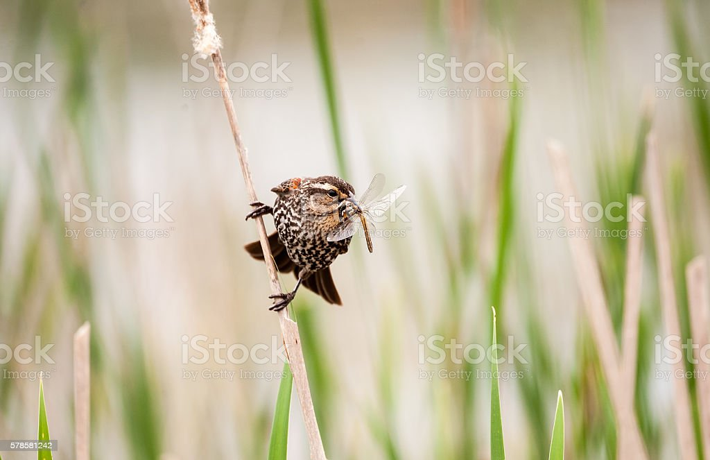 Female red-winged blackbird holding a dragonfly stock photo