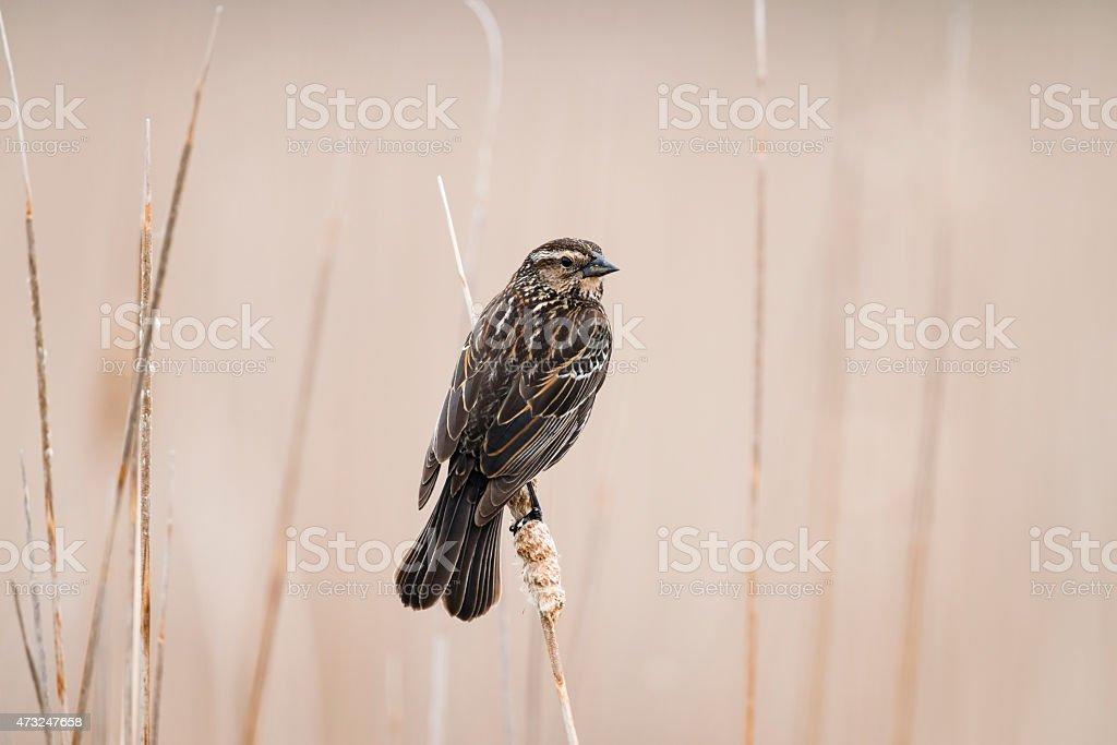 Female red-winged blackbird perching in marsh stock photo