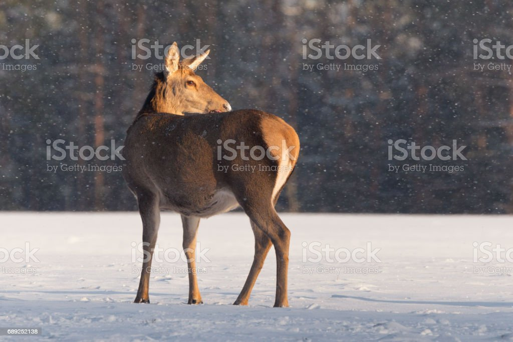 A female reindeer stands on a snow-covered field against the background of a forest in the rays of the sun under falling snow.deer doe standing on the sunlight under the falling snow.Lone deer, carefully looking towards. stock photo