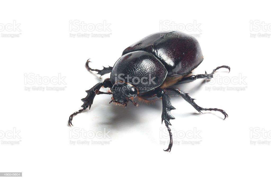 Female Rhinceros Beetle,Unicorn Beetle stock photo