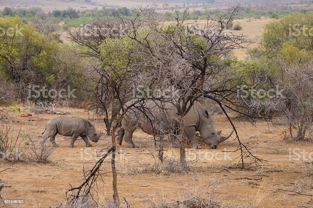 Female rhino with its baby in Pilanesberg National Park. stock photo