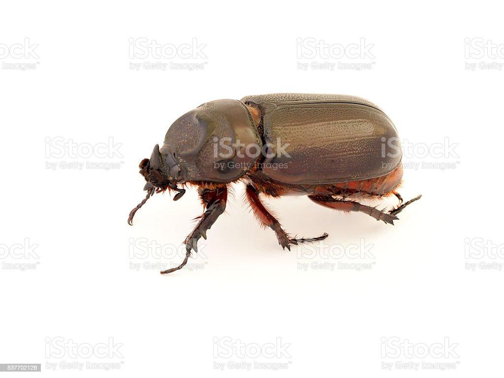 Female rhinoceros beetle, Rhino beetle, Hercules beetle, stock photo