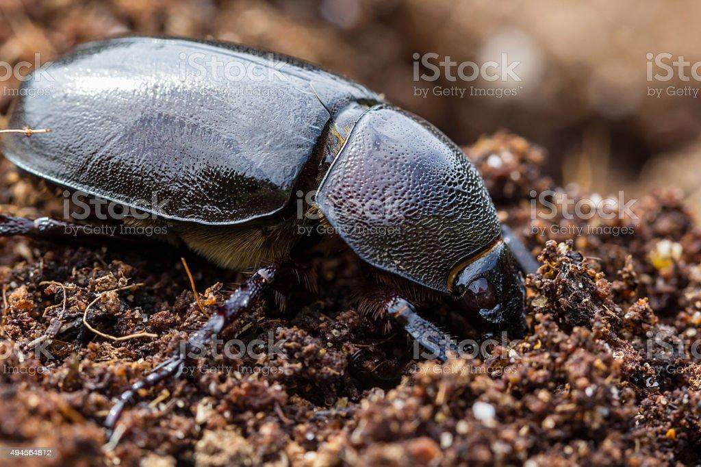 Female rhinoceros beetles in the soil. stock photo