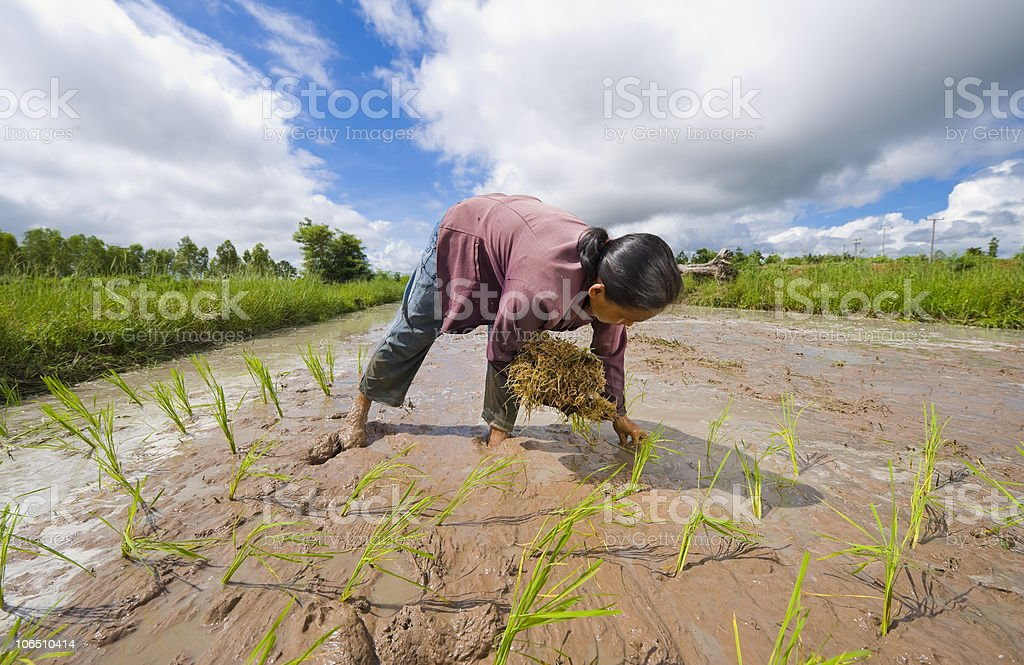 female rice farmer in thailand royalty-free stock photo