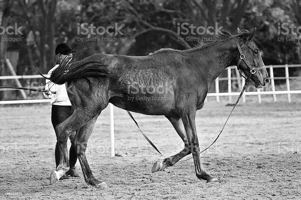Female rider trains the horse in the riding course royalty-free stock photo