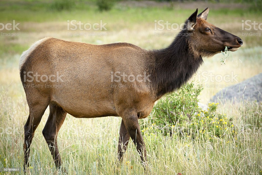 Female Rocky Mountain Elk stock photo