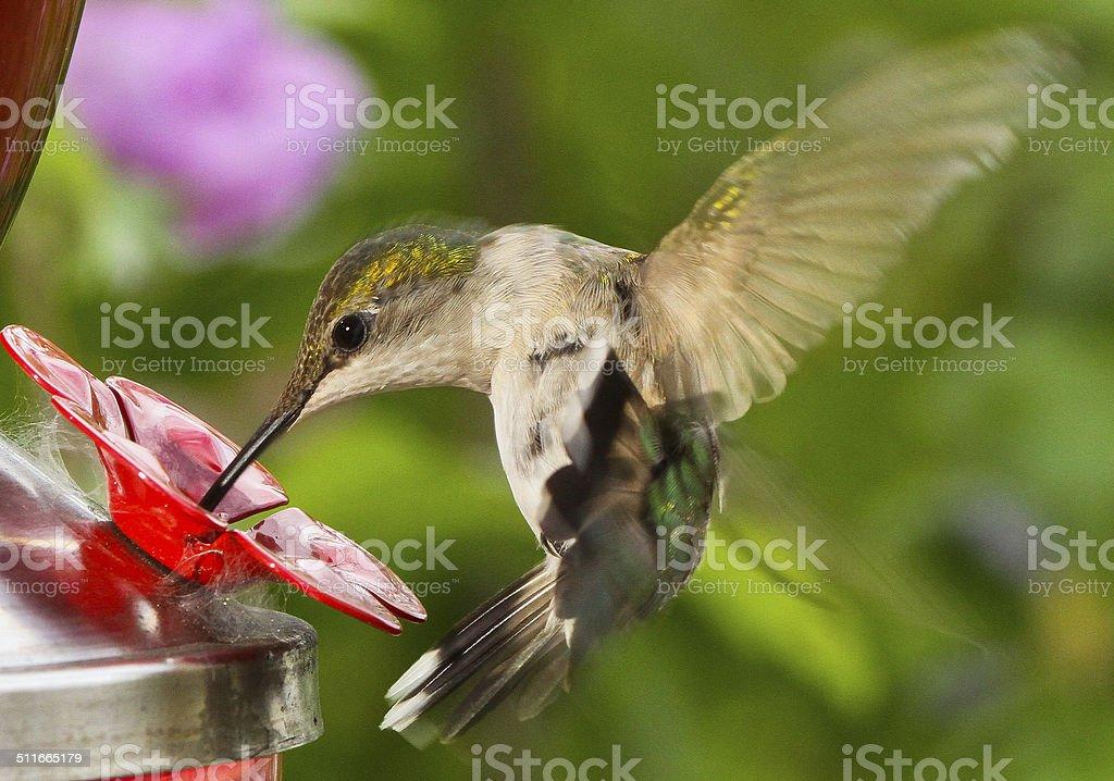 Female Ruby-throated Hummingbird At Feeder stock photo