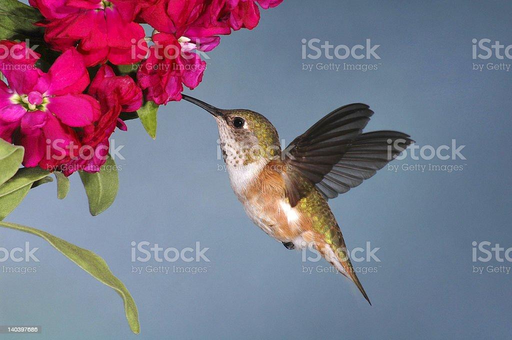 Female Rufous Hummingbird (Selasphorus rufus) stock photo