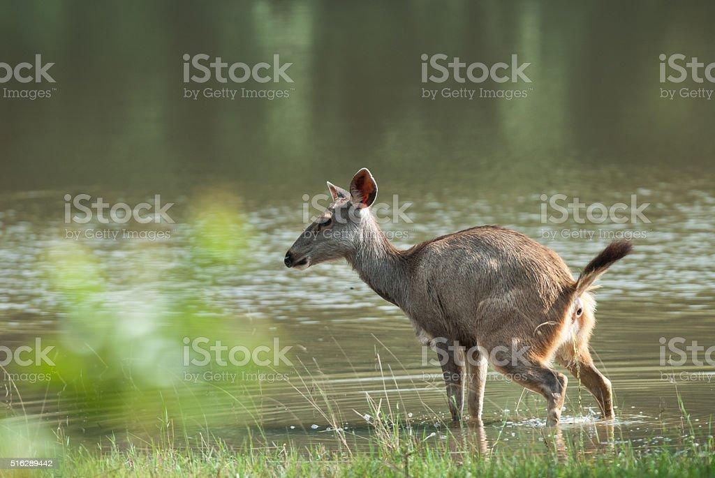 Female Sambar deer(Rusa unicolor ) relax on Lake in nature stock photo