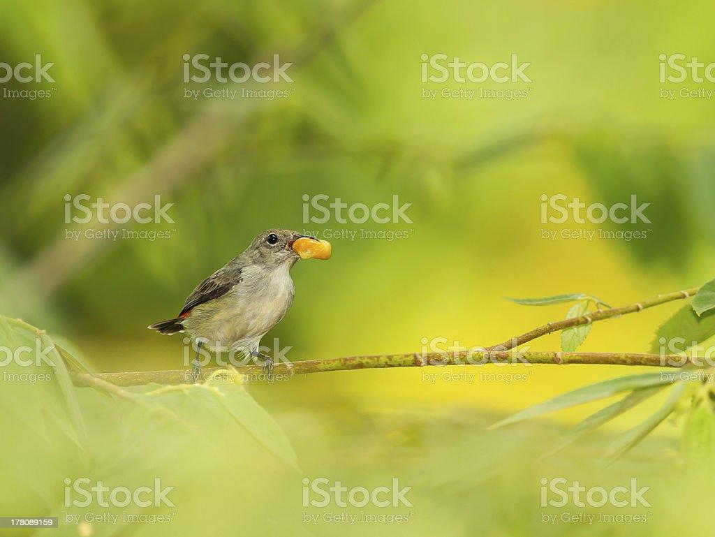 Female Scarlet-backed Flowerpecker royalty-free stock photo