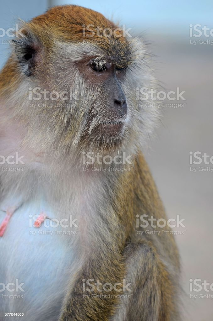 Female seated long tailed macaque monkey intently stares stock photo