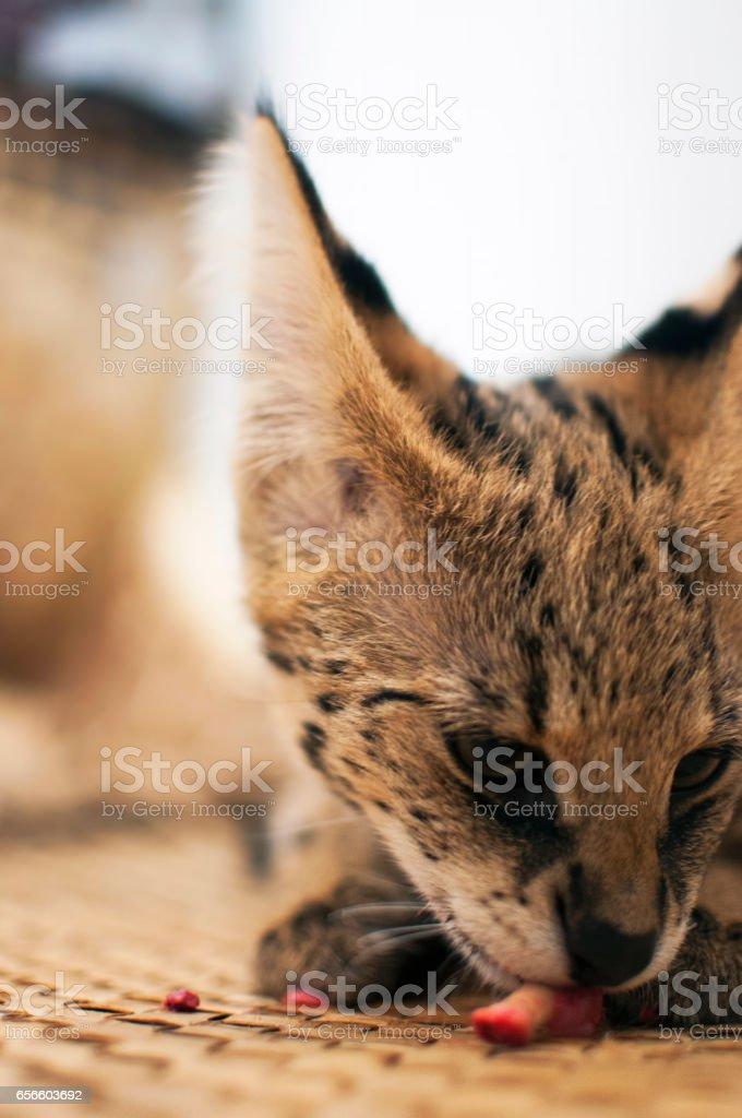 Female serval cat (leptailurus serval) eating/enjoying bone (half side view). stock photo