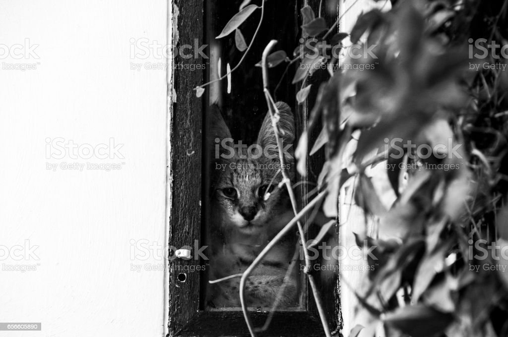 Female serval cat (leptailurus serval) staring out of window (black and white). stock photo