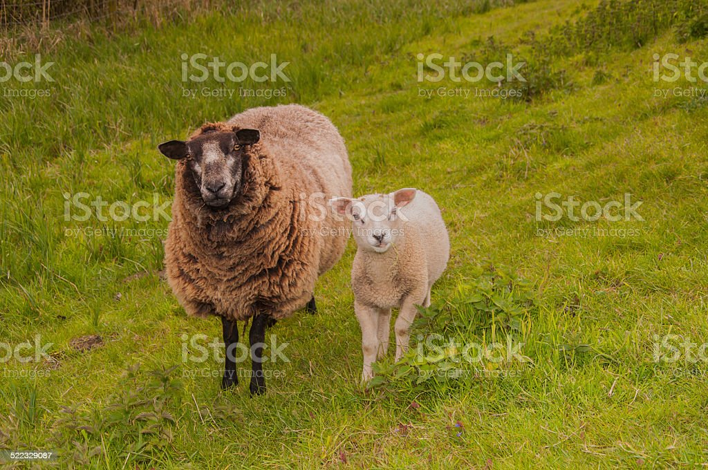 Female sheep with her lamb staning stock photo