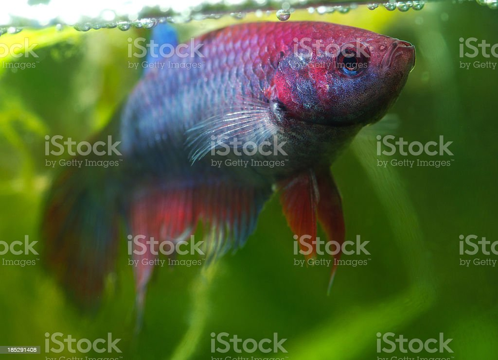 Female siamese fighting fish royalty-free stock photo