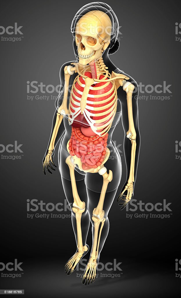 Female skeleton and digestive system stock photo