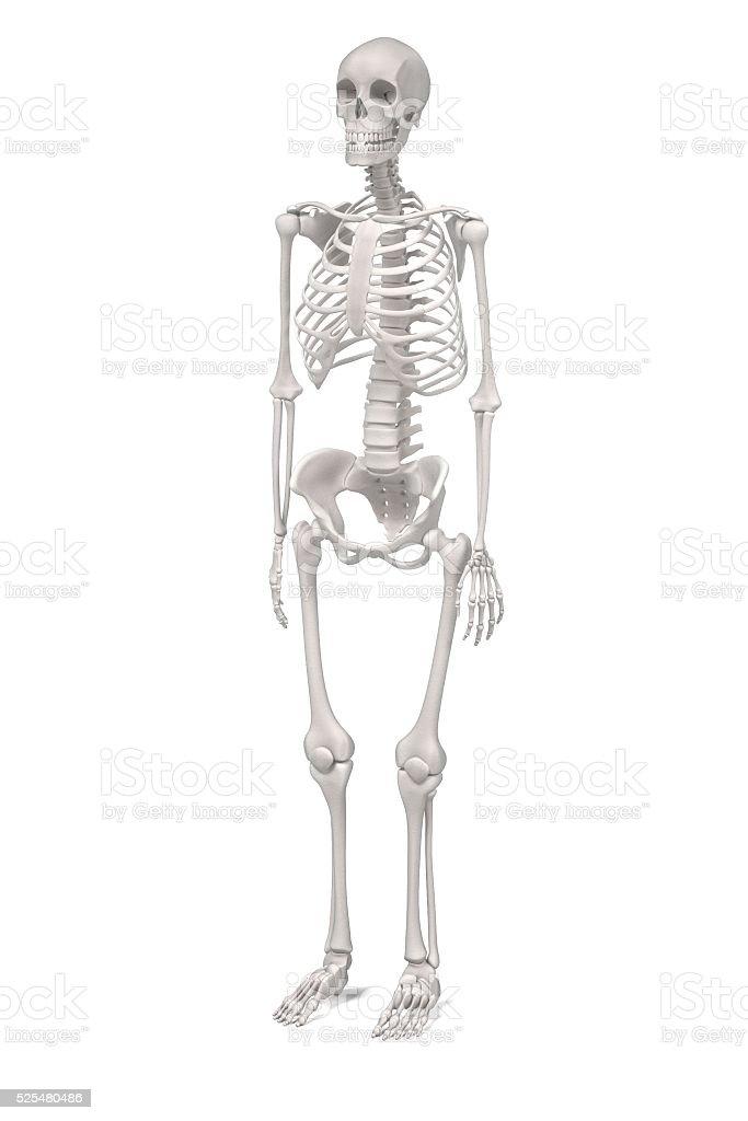 Bonito Esqueleto Humano Femenino Ornamento - Anatomía de Las ...